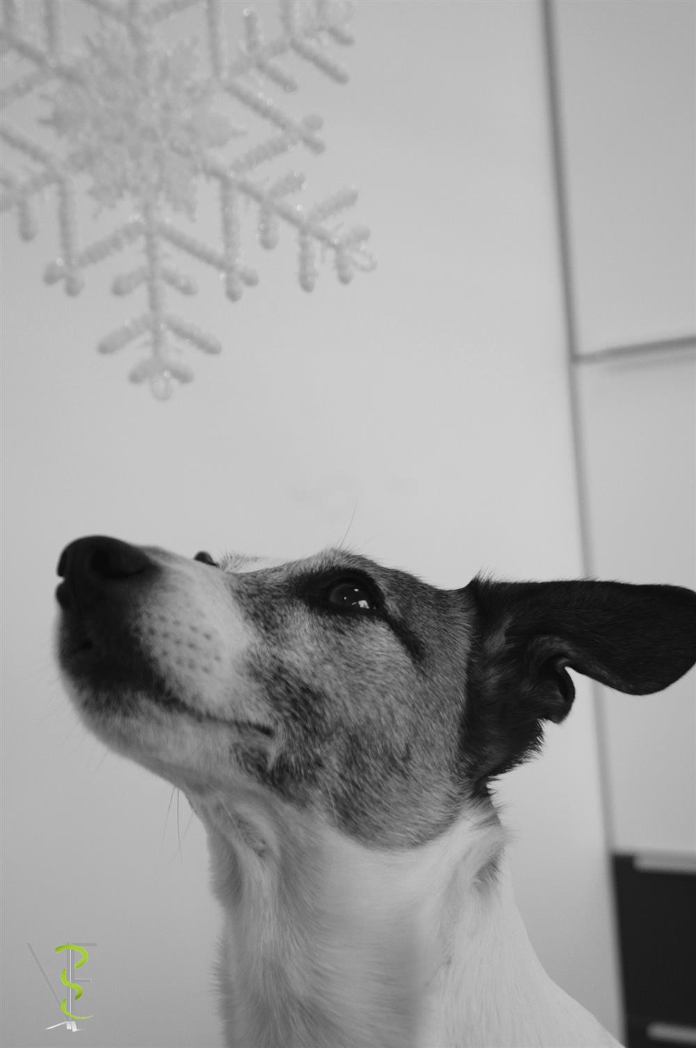 jack russel christmas time